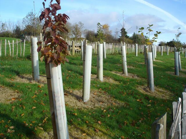 yearly trees with protection sleeves preventing damage