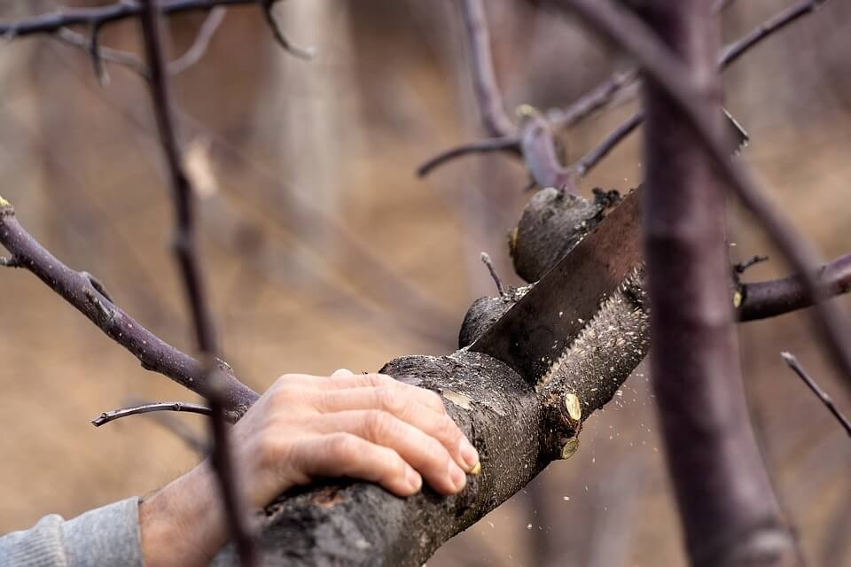 hand pruning a branch off a tree